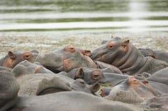 Toneladas de hipopótamo Fotos de Stock