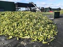 Toneladas de mazorca de maíz fotos de archivo