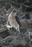 Toneleros Hawk Holding Shrew Imagen de archivo libre de regalías