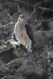 Toneleros Hawk Holding Shrew Foto de archivo libre de regalías