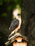 Toneleros Hawk Portrait Mode Foto de archivo libre de regalías