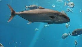 tonfisk Arkivfoto