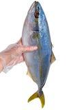 Tonfisk i handen på vit Fotografering för Bildbyråer