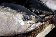 tonfiskyellowfin Arkivbilder