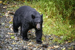 Tongass black bear Stock Photos