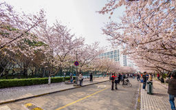 Tongji Universitair Cherry Blossom Festival Royalty-vrije Stock Afbeeldingen