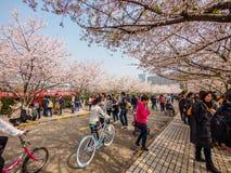 Tongji Universitair Cherry Blossom Festival Royalty-vrije Stock Fotografie