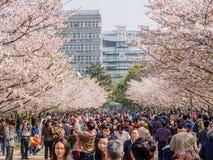 Tongji Universitair Cherry Blossom Festival Stock Afbeeldingen