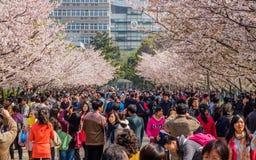 Tongji Universitair Cherry Blossom Festival Stock Afbeelding