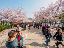 Tongji Universitair Cherry Blossom Festival Stock Foto