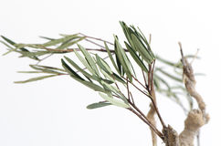 Tongkat Ali (enchufe del longifolia de Eurycoma) Fotos de archivo