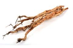 Tongkat Ali (Eurycoma longifolia jack) leaves and roots. Royalty Free Stock Photo