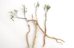 Tongkat Ali (Eurycoma longifolia jack) Stock Photos