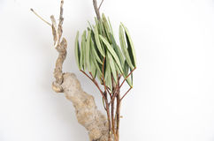 Tongkat Ali (Eurycoma longifolia jack) Royalty Free Stock Images