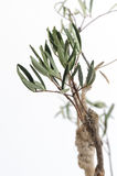 Tongkat Ali (Eurycoma longifolia jack) Royalty Free Stock Photo