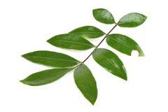 Tongkat Ali liście (Eurycoma longifolia dźwigarka) zdjęcie stock