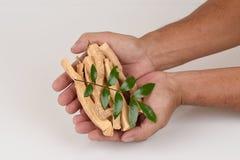 Tongkat Ali liście (Eurycoma longifolia dźwigarka) fotografia royalty free