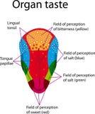 Tongue Stock Image