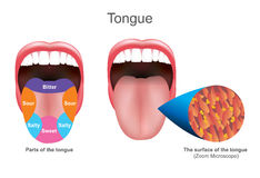 Tongue. Education info graphic. Vector design. The tongue also serves as a natural means of cleaning the teeth.It is of importance in the digestive system and Royalty Free Stock Photos