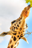 Tongue of a giraffe (Giraffa camelopardalis) reaches out to grab some leaves Stock Photography