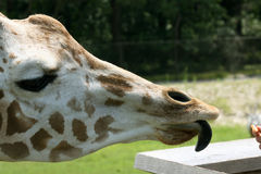 Tongue of giraffe Royalty Free Stock Image