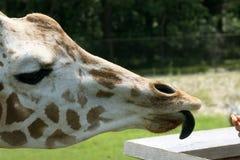 Tongue of giraffe Royalty Free Stock Image