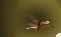 Hummingbird thirsts Royalty Free Stock Images