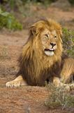 Tongue Lion Royalty Free Stock Image