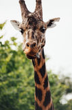 Tongue out!. A giraffe with its tongue out Stock Images