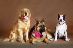Tongue`s show in studio. Three dog friends waiting for the bus in studio Royalty Free Stock Photo