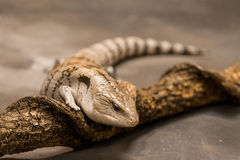 Tongued Skink Fotografia Stock