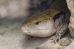 Tongued skink blue Royalty Free Stock Images