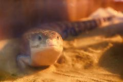 Tongued skink na piasku Obraz Royalty Free