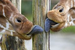 Tongues of giraffe licking a wooden pole. A wooden pole is licked clean by two giraffes Royalty Free Stock Photo