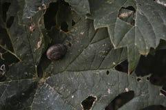 Tonie ślimaczka na liściu roślina Zdjęcie Royalty Free