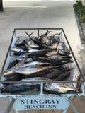 tonijn Royalty-vrije Stock Afbeelding