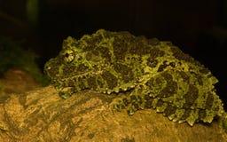 Tonkin insecto-observó la rana Imágenes de archivo libres de regalías