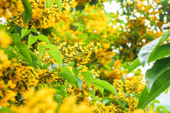 Tonkinensis do Dalbergia Fotografia de Stock