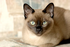 tonkinese的猫 库存照片