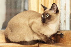 Tonkinese cat. A young Tonkinese cat sitting by the window stock photo