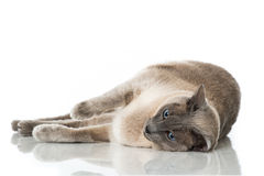 Free Tonkinese Cat Royalty Free Stock Photos - 68218428