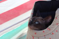 Tonkinese cat in a bag on the beach. Happy Tonkinese cat in a bag on the beach Stock Images