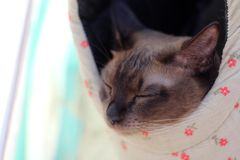 Tonkinese cat in a bag on the beach. Happy Tonkinese cat in a bag on the beach Stock Photo