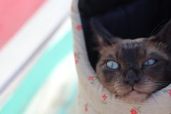 Tonkinese cat in a bag on the beach. Happy Tonkinese cat in a bag on the beach Stock Image