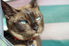 Tonkinese cat on the beach. Happy Tonkinese cat on the beach Royalty Free Stock Photo