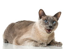 Tonkinese cat Royalty Free Stock Photos