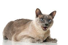 Tonkinese cat Royalty Free Stock Photos