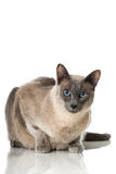 Tonkinese cat Royalty Free Stock Image