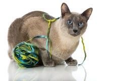 Tonkinese cat Stock Photography