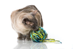 Tonkinese cat Stock Images